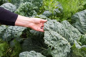Många yttre blad på savoykålen kanske inte vanligtvis används och säljs inte i butik. Men på Jädersbruks herrgård nyttjas de i matlagningen.