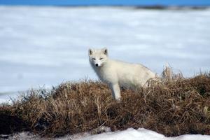 Fjällrävspopulationen har stärkts genom stödutfodring och jakt på rödräv. Foto: Lars Liljemark länsstyrelsen