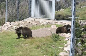 Björnar i hägnen i Orsa Rovdjurspark.