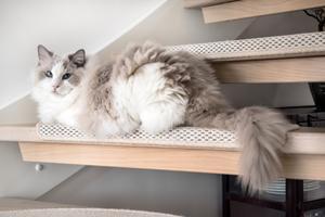 Katten, en rag doll, myser i trappan till övervåningen.