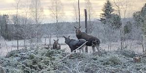 Tävlar i februari. En älgko med sina två kalvar stod och betade alldeles intill vägen i Rödjebro, till synes helt orädda. Foto: Kenneth Olsson