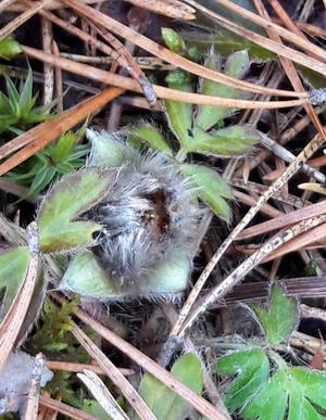 Mosipporna knoppas, men det är några dagar kvar tills de slår ut i full blom.