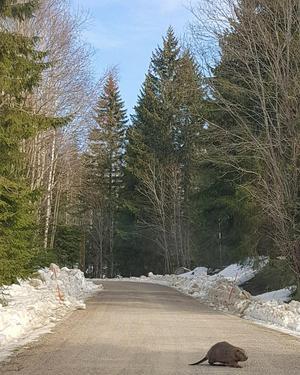 Vi fick oss en överraskning när vi var ute och åkte bil. Helt plötsligt såg vi en stor bäver vid vägkanten, som nästintill var helt obrydd av att vi stannade. Foto: Marissa