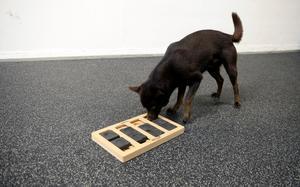 Gör hunden mentalt trött med hjälp av till exempel spel. Här letar Jackson efter en gömd godisbit.