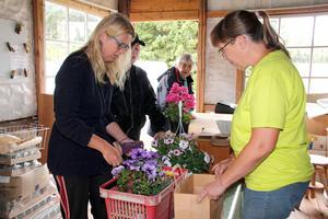 Kristina Karlsson tar betalt av Madeleine Norberg som besöker handelsträdgården i Julmyra med dottern Sarah och mamma Kerstin.