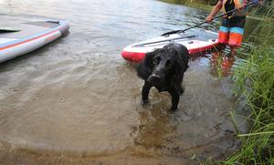 En som fick en åktur på brädan var hunden Toker som blev nyfiken på SUP när den tog sig ett kvällsdopp.