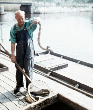 Ålfiske i Svartån på1950-talet. Fotograf: Eiwor Thavenius, Örebro