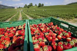 Om inte arbetsgivarna levererar bättre villkor kanske avsaknaden av jordgubbar på midsommarbordet blir verklighet enligt insändarskribenterna.