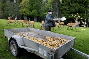 Här får kronhjortarna lite extra energi i form av potatisar från Sidensjö.