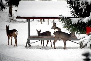 Många rådjur har under den här vintern sökt sig till bebyggelse för att hitta mat och för att lättare ta sig fram – efter plogade och farliga vägar.