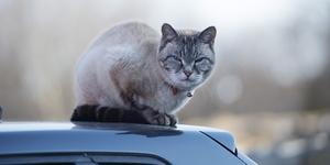 Katt på biltak. Insändaren vänder sig mot att kattägare släpper ut katter i stadsmiljöer. (Foto: Fredrik Sandberg)