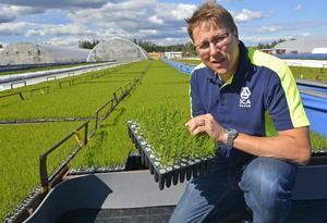 Tomas Vestman, chef för Bogrundets plantskola i Fagervik inspekterar tallplantorna..