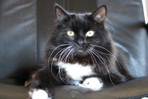 316) Kamikatzie, 3år, Sibirisk katt Foto: Inga-Lill Kling