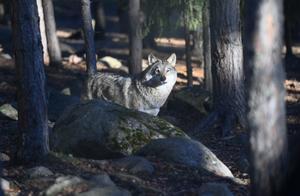 Att Naturvårdsverket nu delegerar ut beslut till Länsstyrelsen att avgöra om utökad från 24 till 55 vargar i licensjakt strider mot artskyddet är mer än märkligt.