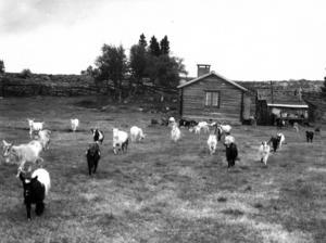 Getter vid Sörvattenvallens fäbod 1974.