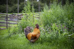 Hönsen som på sommaren får gå runt fritt på området.
