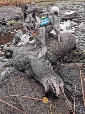 En fin kviga skjuten efter duktigt hundarbete av min gråhundstik Tindra. Foto: Jimmy Jonsson
