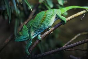 Kameleonten ändrar färg lika lätt som Socialdemokraterna byter åsikt.Foto: AP/TT