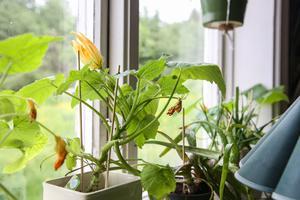 I köksfönstret står några zucchiniplantor uppradade.
