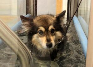 På god väg att gå sig frisk i vattentrasken efter två stora operationer är fyraåriga finska lapphunden Eallin som för snart ett år sedan fick ena framtassen avbiten av en annan hund.
