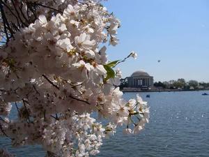 När Washington DC blommar av cherry blossom då vet man att våren är här! Träden är en gåva från Tokyo till Washington dc år 1912, och nu blommar träden över hela staden! I backgrunden ser man det fina vädret och det vackra Jefferson memorial. Foto: Jennie Henningsson