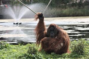 Nanne i gröngräset. Den 14 januari fyllde Naong, även kallad Nanne 30 år. Han kan se tuff ut, men är egentligen en mjukis.    Foto: Furuviksparken