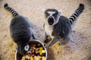 Lemurerna älskar solen och det är även därför deras boende har så stora fönster.
