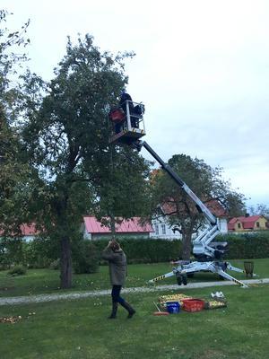 I helgen plockade vi päron med hjälp av en skylift. De hängde i klasar och vi plockade tills vi inte kunde se dem längre. (För solen hade gått ner.)
