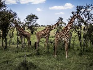 Jörgen Perssons härliga bild på giraffer kommer från en resa till Tanzania.