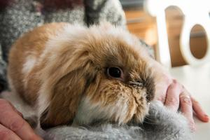Gunnar, eller Ovansjös Gnocci som han heter i stamtavlan, är Amandas alldeles egna kanin. Han är en lejonhuvad dvärgvädur.