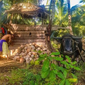 Kokosnötsfarmen, samt den tillhörande vattenbuffeln. Foto: Privat