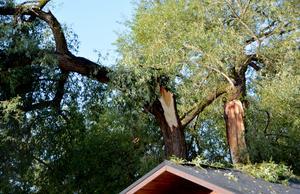 Pilar på väg att ge upp. Nu ska alla träd i området besiktas.