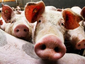 """Debattören skriver att """"djurskydd är nära kopplat till mängden antibiotika som används"""". Foto: Michael Probst/TT"""