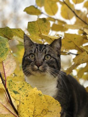 Katten Kurt från Karbenning är väldigt social av sig.                                                                                   Foto: Kristofer Hallin
