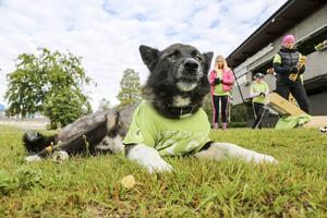 Stallhunden Nitro håller koll på skräpplockarna. Något motvilligt möjligen iklädd en tröja.