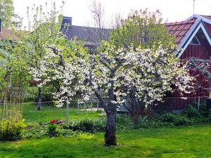 """""""Blommande träd i Lillån, Örebro."""" Foto: Ronald Engström"""