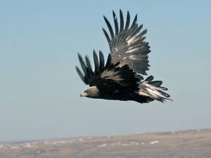Kungsörnarna ska skyddas genom att det inrättas ett  fågelskyddsområde, enligt de nya planerna som börjar ta form. Foto: Arkivbild