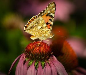 Kai Graversens fina bild på en tistelfjäril, som han vann förra månadens bild-tävling med. Nu kan du ta chansen och ladda upp en bild.