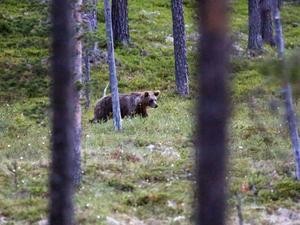 Länsstyrelsen tycker att årets björnjakt gick bra.