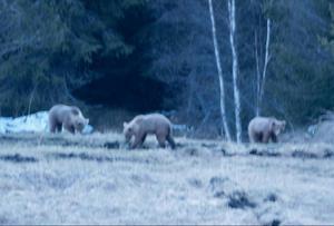 De tre små björnungarna leker obekymrat trots biltrafik och människor i närheten.