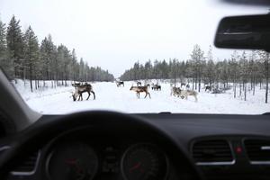 Bilister som färdas mellan Lillhärdal och Älvdalen får vara beredd på att möta renar emellanåt.