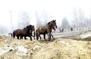 """HEMGÅNG. Hästarna hittar hem själva från hagen. Här är de på väg in för att bli ompysslade av dagens """"ägare""""."""