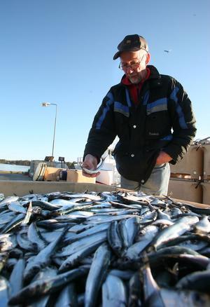 Björn Larsson fiskar i dag bara för husbehovs skull, men han hjälper gärna till i hamnen när fångsten kommer in.