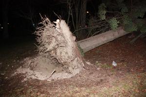 Ett av många träd som fälldes av stormen Dagny.