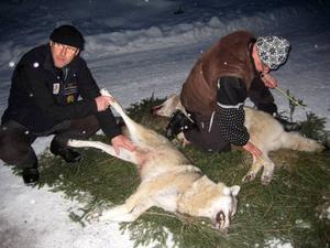 Roland Näslund och Sone Persson från länsstyrelsen var på plats för att besikta vargarna. Bland annat mäter de längd och bredd och  väger djuren. Och tar DNA-prover.