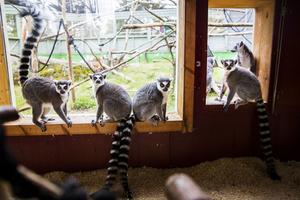Lemurerna lever bara på Madagaskar i det vilda. De som bor i Junsele djurpark gillar russin