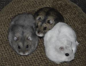 Hamstrarna gillar att sova tillsammans i en hög.