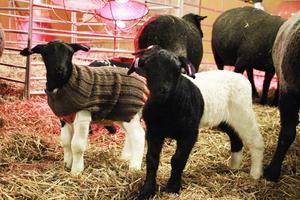Vissa av lammen behöver ullkoftor för att hålla värmen, den har lammet på sig i två veckor. Sedan får värmelamporna räcka.
