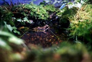 En riktig groda. Varför måste lantbrukets villkor försämras för att grodornas förutsättningar ska optimeras? undrar Sture Johansson och Per Nyström.foto: scanpix