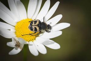 En vanlig prästkrage är rena buffen för insekter såsom humlebaggen.